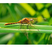 Dragonfly Orange on Green  Photographic Print
