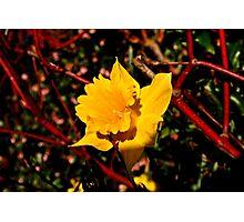 Sun on the Daffodils Photographic Print