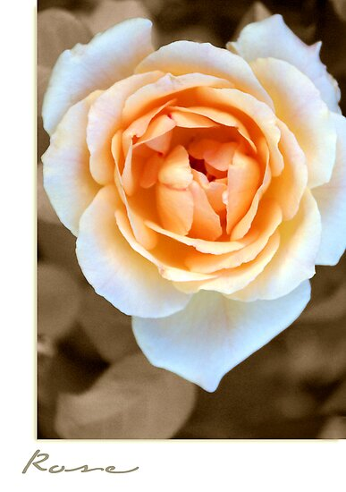 """Smooth Angel"" Rose by Holly Kempe"