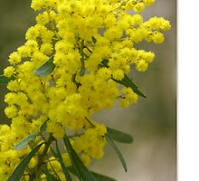 Wattle by Holly Kempe