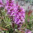 Flower Spike of the Grass Trigger Plant. Mt Buffalo by Lozzar Flowers &amp; Art