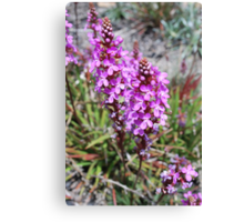 Flower Spike of the Grass Trigger Plant. Mt Buffalo Canvas Print