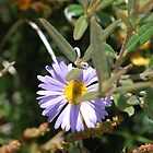 Purple Daisy, Brachyscome Multifida.  Mt Buffalo  by Lozzar Flowers &amp; Art