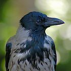 Hooded Crow by Laksen