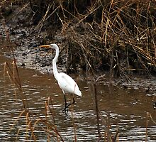 Great White Egret by madman4
