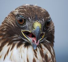 Red Tail Hawk by MistyDawn