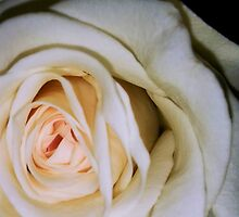 Macro of white rose 5 by AnnArtshock