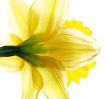 Sun Soaked Daffodil by Donell Trostrud