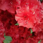 Red Azalea by QGPennyworth