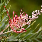 Grevillea by Martin Pot