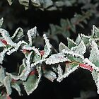 Frost Spangled by shiraz