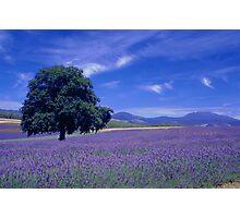 The Bridestowe Estate Lavender Farm, Tasmania, Australia Photographic Print