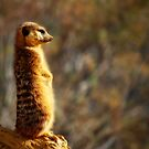 Meerkat by Squealia