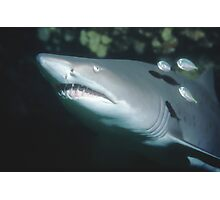 Grey Nurse Shark portrait Photographic Print
