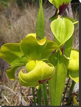 Pitcher Plant by May Lattanzio
