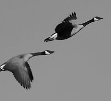Canadian Geese Flying by RebeccaBlackman