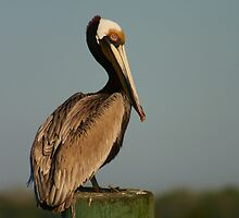 Pelican on Post by mklue