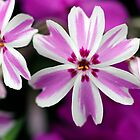 Phlox by Stephen Beattie