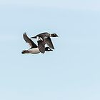 A Pair Of Goldeneye Ducks In Flight by Thomas Young