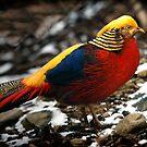 Golden Pheasant by Bobby McLeod