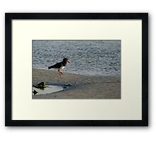 Pied Oyster Catcher Framed Print