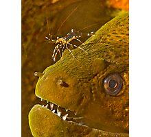 Cleaner Shrimp on Moray Photographic Print