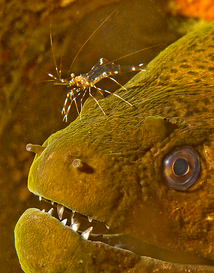 Cleaner Shrimp on Moray by Dan Sweeney