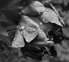 Vintage black and white Peony by LonaBon