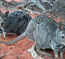 """Banded Hare-Wallabies"" Shark Bay, Western Australia by wildimagenation"