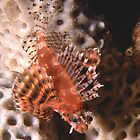 Dwarf Lionfish, Sydney Harbour by Erik Schlogl