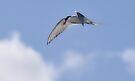 Arctic Tern by Richard Ion