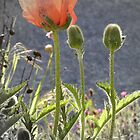 Sun Drenched Poppy by Laurel  Coleman