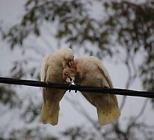Preening Corellas by lettie1957