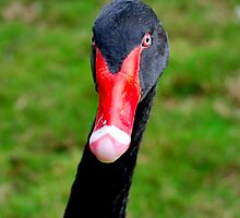 Black Swan by Brian Humek