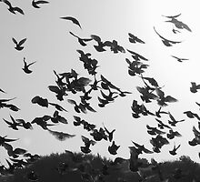 Flock of Pigeons by Brian Humek