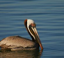 Peaceful Pelican by mklue