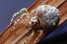 Magnificent (bolas) spider, Ordgarius magnificus  by Normf