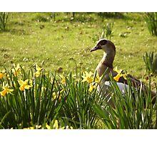 Spring Goose Photographic Print