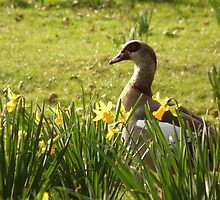 Spring Goose by TerriWatson