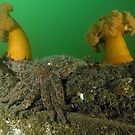 Two Plumose Anemones and a Sunflower Seastar by Greg Amptman