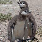 Magellanic Penguin chicks by David Burren