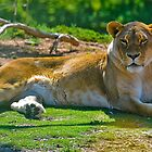 Lioness at Waerribee by Tom Newman