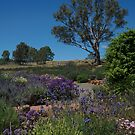 ~Lyndoch, Barossa Valley~ by Debra LINKEVICS