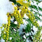 Mahonia in Snow by Braedene