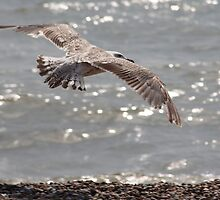 Gull at Aldeburgh by CWPImages