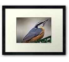 Nuthatch Close Up Framed Print