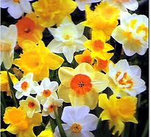 spring daffodils by sarah-and-ash