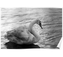 Young Swan Poster