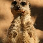 Meerkat by Kezzarama