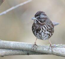 Song Sparrow by Jillian Johnston